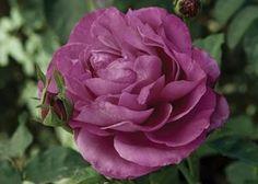 """Rosa (Heirloom) """"Jacblend"""""""