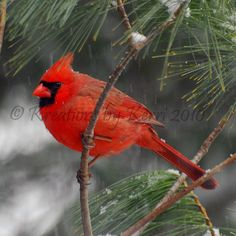Just Hanging Out In The Pines   #cardinal #birds