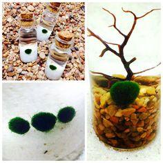 DIY mini Marimo moss ball live plant terrariums northwestkombucha.com