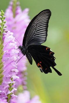 ~~ Spangle Butterfly on the Pink flower by Ken Ohsawa ~~ Butterfly Kisses, Butterfly Flowers, Butterfly Wings, Pink Flowers, Beautiful Bugs, Beautiful Butterflies, Art Papillon, Moth Caterpillar, Butterflies Flying