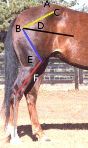 Gaited horse conformation quiz
