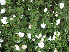Rhododendron 'Hardy Gardenia'  Scientific Name: Rhododendron 'Hardy Gardenia'   Hardiness Zone: 6, 7, 8, 9  Height: 2- 5 feet Spread: 3 -5 feet Bloom time: Spring, Fall Flower color: White Light Exposure: Part Sun, Filtered Shade, Morning sun