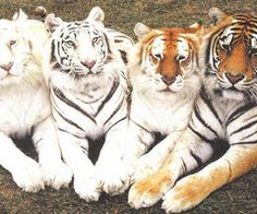 Ghost Tiger, White Tiger, Tabby Tiger & Bengal Tiger - so majestic. When your tiger printer is running low on ink. Animals And Pets, Baby Animals, Funny Animals, Cute Animals, Wild Animals, Pretty Animals, Cute Animal Humor, Unique Animals, Beautiful Cats