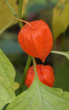 Dit jaar groeien deze voor het eerst op mijn balkon, kijken of de vruchten/bloemen ook zo mooi worden!