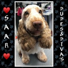 Saar, our english cocker spaniël. I love this girl so much. Grooming Salon, English Cocker Spaniel, Diva, Bunny, My Love, Cats, Pictures, Animals, Photos
