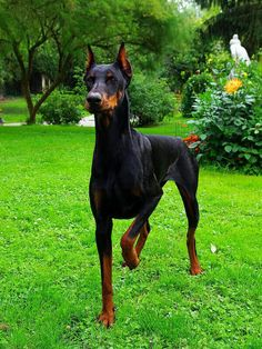 The Doberman Pinscher is among the most popular breed of dogs in the world. Known for its intelligence and loyalty, the Pinscher is both a police- favorite Big Dogs, I Love Dogs, Cute Dogs, Dogs And Puppies, Doggies, Rottweiler, Chien Dobermann, Pinscher Doberman, Animals And Pets