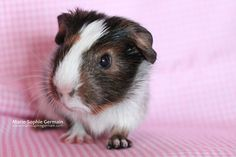 Muffin, one of my baby guinea pigs - by Marie-Sophie Germain - www.mariesophiegermain.com