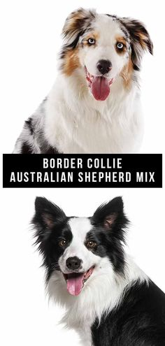 The Border Collie Australian Shepherd mix combines two energetic, intelligent herding breeds. But does this designer dog make a good family pet? Australian Shepherd Mix Puppies, Puppy Mills, Border Collies, Mixed Breed, Dog Design, How To Be Outgoing, Dog Breeds, Parents, Articles