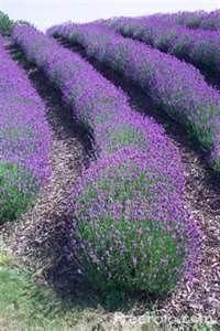 lavender - Search