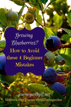 Container Gardening For Beginners Growing Blueberries? Avoid these 4 Beginner Mistakes - Growing Blueberries this year? Avoid these 4 beginner mistakes and you'll be on your way to a bountiful crop! Hydroponic Gardening, Container Gardening, Organic Gardening, Vegetable Gardening, Hydroponic Growing, Veggie Gardens, Urban Gardening, Aquaponics, Fruit Garden