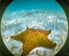 Flora y Fauna de Venezuela -Estrella de Mar en Los Roques