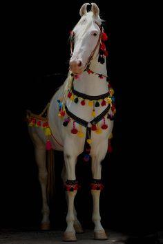 Indian Marwari horse in traditional costume | gdfalksen.com