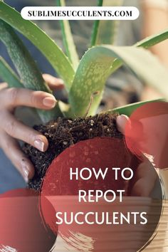 Repotting your beloved succulent can be daunting if you�ve never done it before, but don�t worry! It�s easy to do and totally harmless! Learn how to repot succulents in this guide. #succulents #indoorgardening #outdoorgardening #gardeningtips #repotting Repotting Succulents, Succulent Soil, Cacti And Succulents, Cactus Plants, Plant Growth, Plant Care, Container Gardening, Gardening Tips, Hens And Chicks