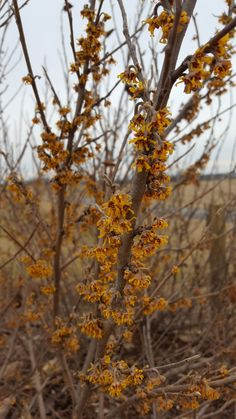 Vernalis Witchhazel- Late winter/Early Spring bloomer