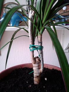 Caring for your dragon tree- repotting and pruning tips
