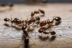 Have ants taken up residence in your home? The kitchen can be a challenging place to get rid of ants since there are so many sources of food. This is a guide about getting rid of ants in your kitchen. Household Bugs, Household Cleaning Tips, Diy Cleaning Products, Cleaning Hacks, Planter Menthe, Fire Ant Bites, Ant Problem, Get Rid Of Ants, Fire Ants