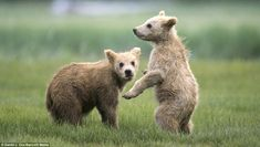 Cuddly : The bears may look very cute but they will soon be as deadly as their parents