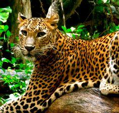 Leopard -   Godinterest