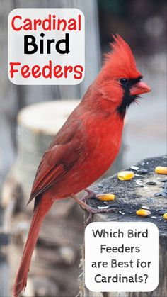 Cardinal Bird Feeder Tips   Getting Cardinals To Your Yard   Which Feeder  Is Best?