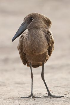 And here i was, thinking Luna was the only one with a beak too big for her face :D Hamerkop, Masai Mara, Kenya