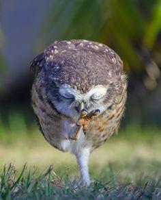 Little Owl (Athene noctua) by Enzo Davide on 500px