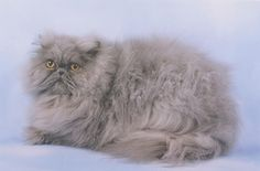Blue Persian Cat. Very similar to my Graycie. I love her!