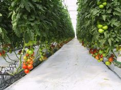 Harnois Greenhouse - Commercial Hydroponic Tomato Greenhouse