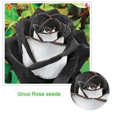 100 pcs/bag rose seeds, Black Rose Flower with White Edge, bonsai flower seeds Black Rose Flower, Black Flowers, Pretty Flowers, Black Roses, Amazing Flowers, Black Leaves, Yellow Roses, Pink Yellow, Rose Flower Colors