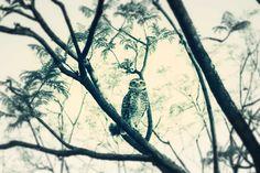 The Owl by julioyica #animals #animal #pet #pets #animales #animallovers #photooftheday #amazing #picoftheday