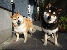 首をかしげるすがたがかわいい : (´・ω・`)柴犬を飼いたくなる理由・柴犬画像集(`・ω・´) - NAVER まとめ