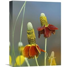 Mexican Hat Flowers In Bloom, North America By Tim Fitzharris, 16 X 12-Inch Wall Art