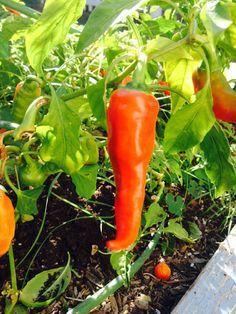 Maria's garden-peppers