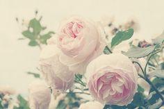 Romantic roses vintage inspired feminine soft pink pale 8x10 fine art photograph photo nature baby girls nursery wall decor