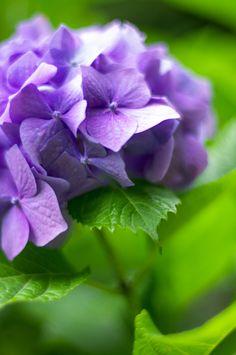 Flowers for you Hortensia Hydrangea, Hydrangea Colors, Hydrangea Flower, Purple Flowers, Beautiful Flowers, Beautiful Pictures, Lavender Green, Green And Purple, Lilac