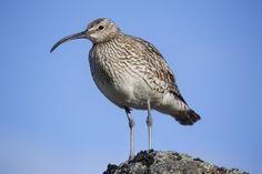 Großer Brachvogel Flora Und Fauna, Island, Bird, Animals, Fire And Ice, Animales, Animaux, Birds, Islands