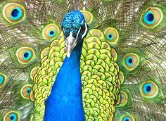 La simetría y el patrón geométrico del pavo real.   Matemolivares