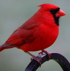 Billedresultat for northern cardinal