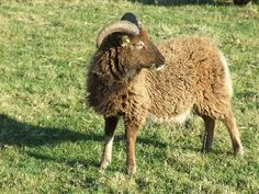 Sheep Breeds - Soay | Ronasvoe and Knightley Flocks