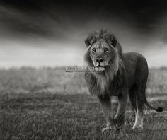 Picture This | AL001 Portrait of Africa No. 9 - Panthera leo Linnaeus  Photograph by Russian photographer Anton Lyalin taken in Serengeti