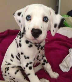 So DogGone Funny!: 14725 – Gorgeous Dalmation puppy.  #dogs #pets #Dalmatians #puppies
