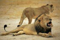 """""""O GRITO DO BICHO"""": Morte de leão africano Cecil traz à tona polêmica ..."""
