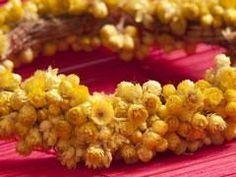 DICTIONNAIRE DES PLANTES MÉDICINALES HélichryseLa plante du jour : l'hélichryse