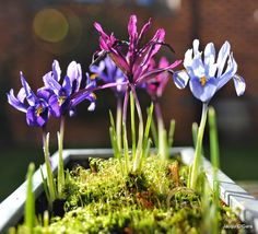 Iris reticulata are superb early flowering bulbs