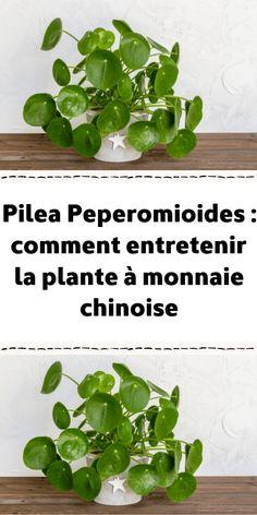 Garden Plants, Indoor Plants, House Plants, Plante Crassula, Mini Bonsai, Decoration Plante, Real Plants, Natural Garden, Plantar