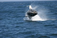 A humpback whale breaching in Monterey.