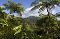 El Yunque National Rainforest in Puerto Rico… I've been here! <3