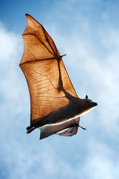 Grey-headed flying fox in flight - Imgur