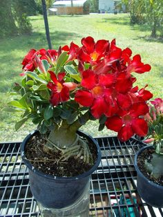 Desert Rose Adenium (Home Run Red)