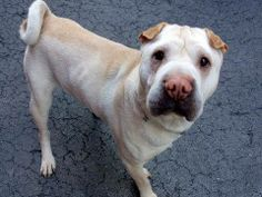 SAFE --- Manhattan Center    LEON - A0998380   MALE, CREAM / BROWN, CHINESE SHARPEI, 3 yrs  OWNER SUR - EVALUATE, HOLD FOR ID  Reason MOVE2PRIVA   Intake condition NONE Intake Date 05/01/2014, From NY 11358, DueOut Date 05/01/2014  https://www.facebook.com/photo.php?fbid=796822950330586&set=a.617938651552351.1073741868.152876678058553&type=3&permPage=1