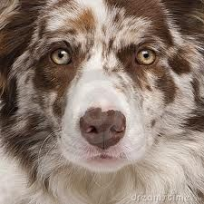 Such a beautiful Red Merle Border Collie! dawwww.